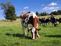 The South Urals livestock farming is capable of providing the consumers with ecologically pure products